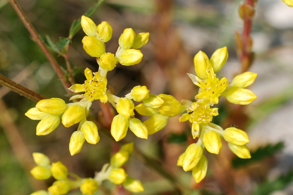 Sedum rupestre subsp. rupestre 21