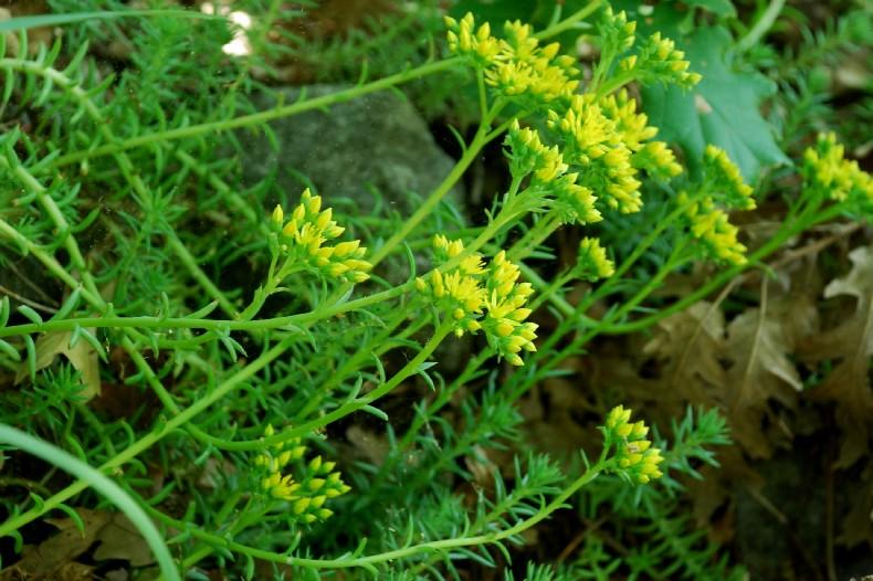 Sedum rupestre subsp. rupestre 32