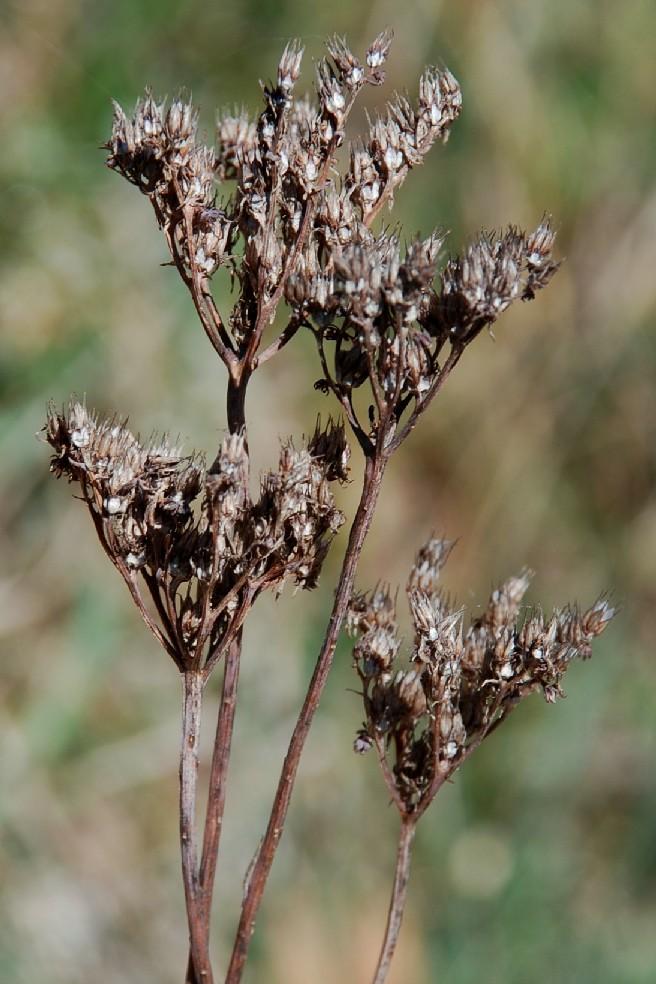 Sedum rupestre subsp. rupestre 6