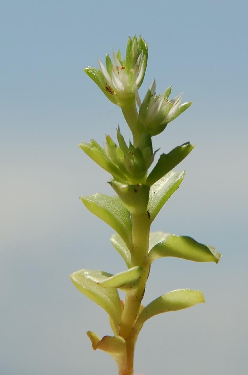 Sedum stellatum