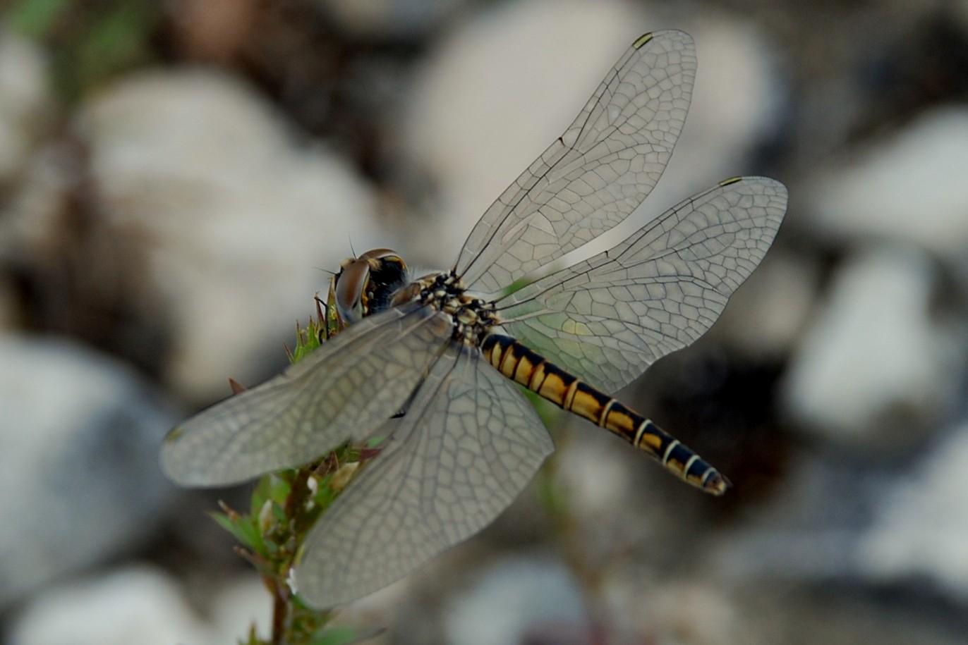 Selysiothemis nigra - Libellulidae