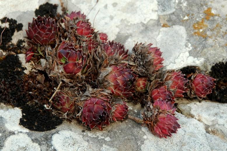 Sempervivum tectorum subsp. schottii 10