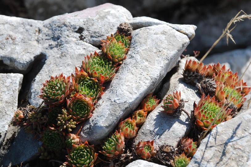 Sempervivum tectorum subsp. schottii 11