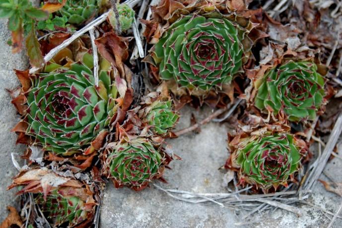 Sempervivum tectorum subsp. schottii 2