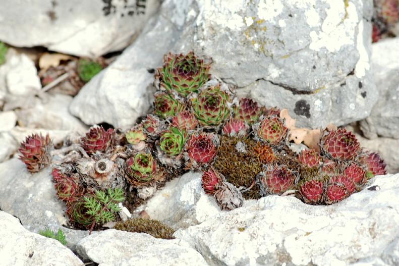 Sempervivum tectorum subsp. schottii 4