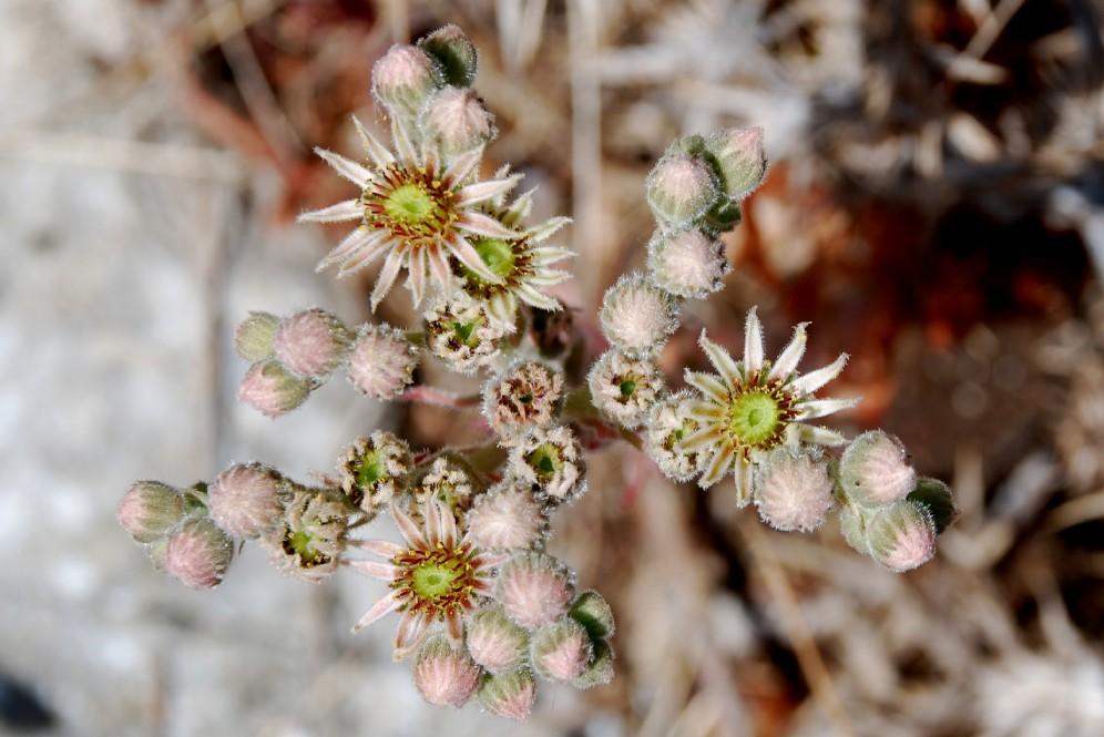 Sempervivum tectorum subsp. schottii 5