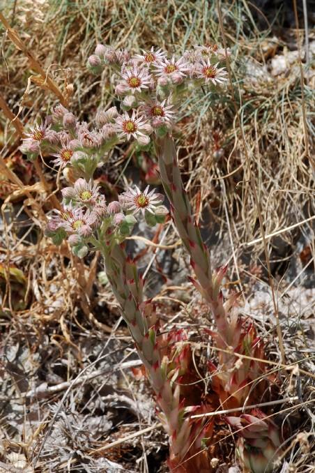 Sempervivum tectorum subsp. schottii 6