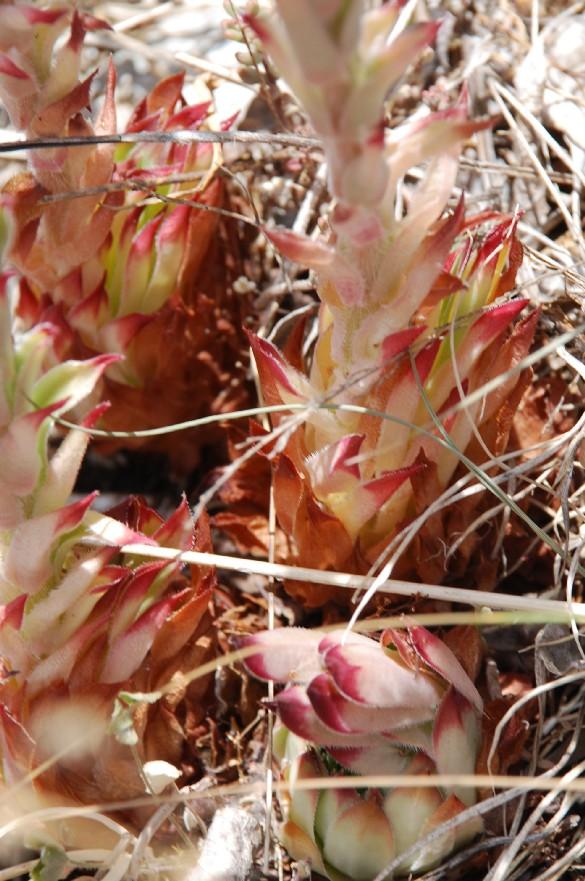 Sempervivum tectorum subsp. schottii 7