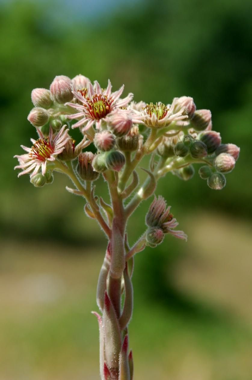 Sempervivum tectorum subsp. schottii 8