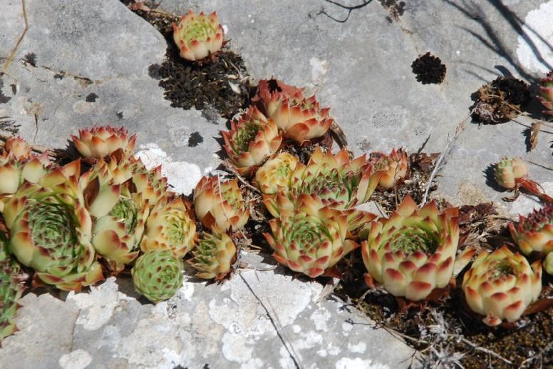 Sempervivum tectorum subsp. schottii 9