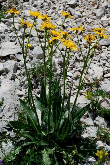 Senecio doronicum subsp. doronicum 2