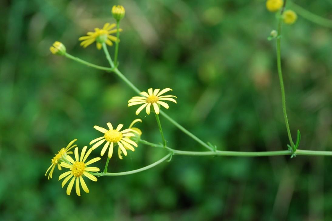 Senecio erraticus subsp. erraticus 10