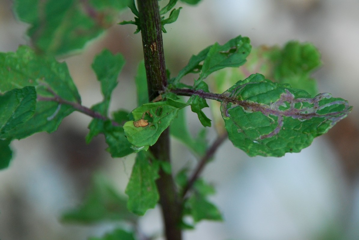 Senecio erraticus subsp. erraticus 11