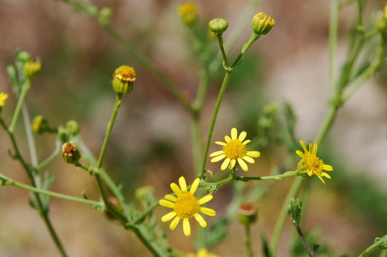 Senecio erraticus subsp. erraticus 13
