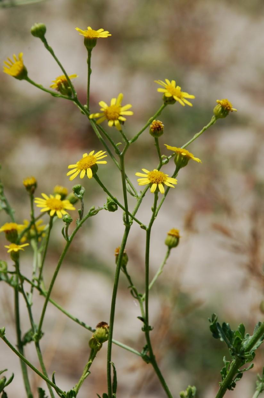 Senecio erraticus subsp. erraticus 14