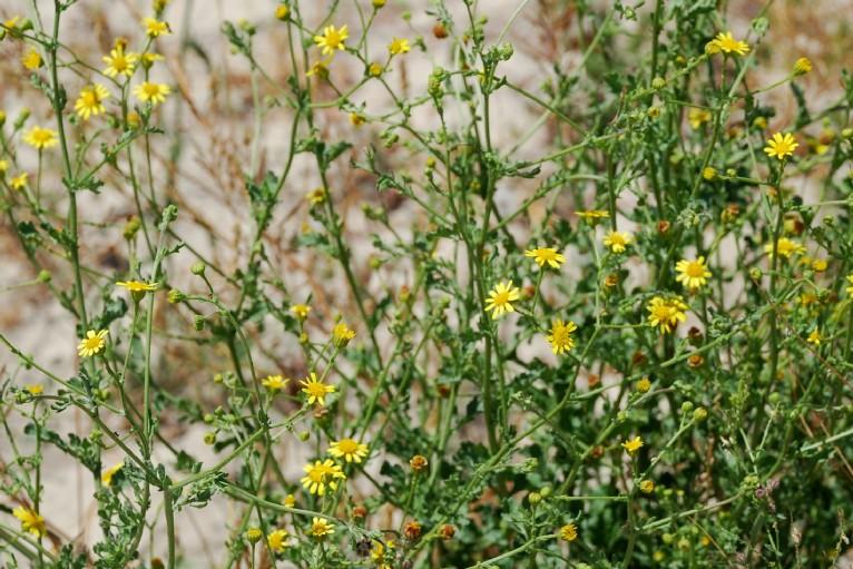 Senecio erraticus subsp. erraticus 15