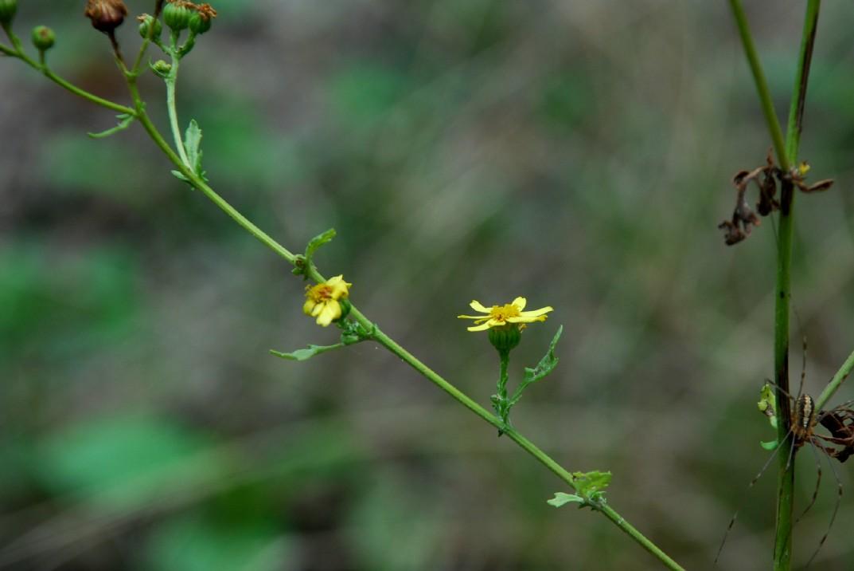Senecio erraticus subsp. erraticus 18