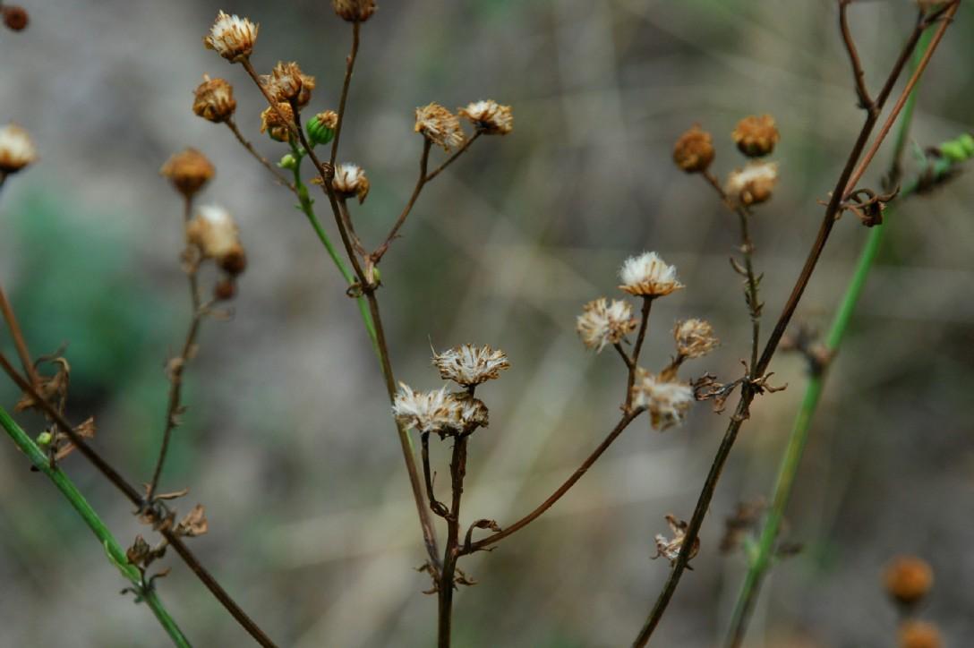 Senecio erraticus subsp. erraticus 20