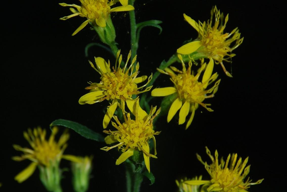 Senecio erraticus subsp. erraticus 22
