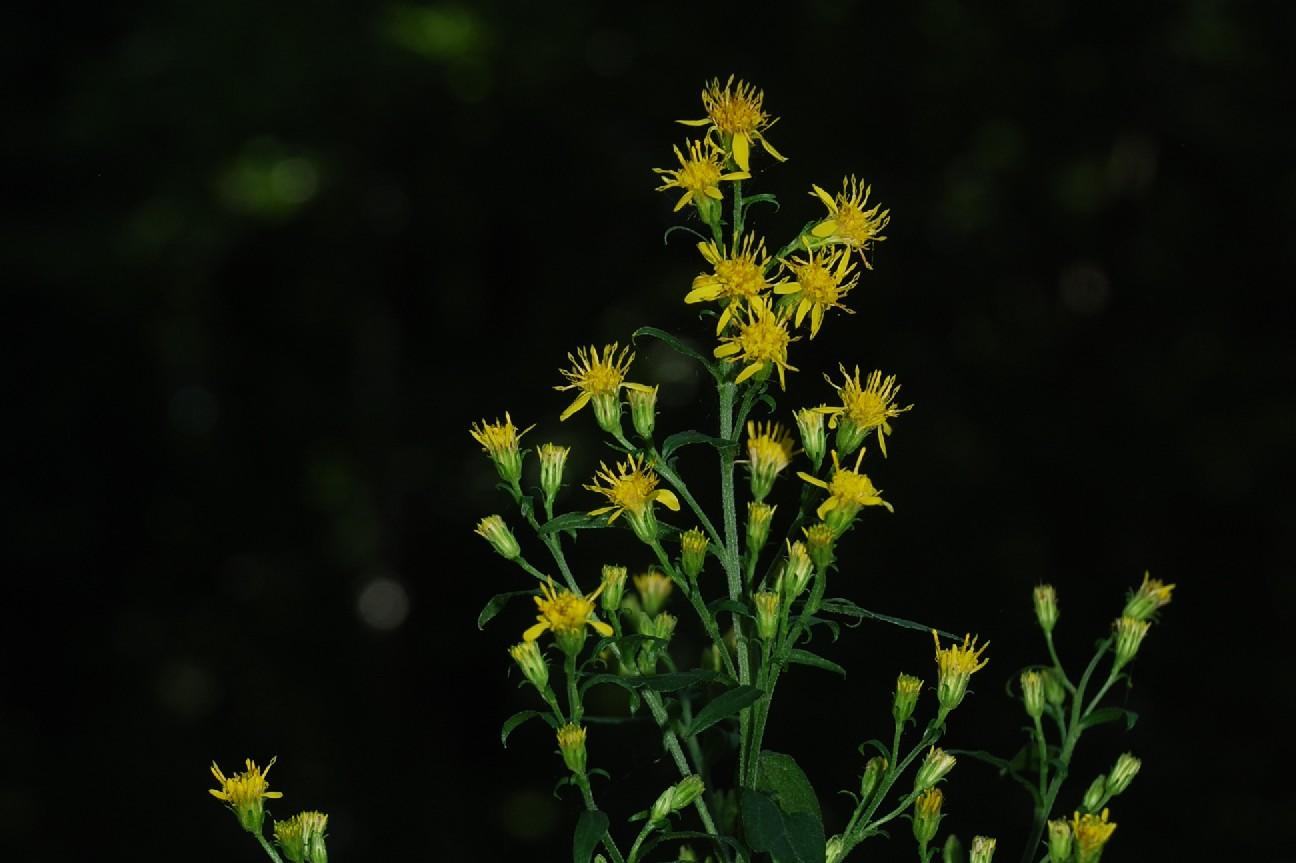 Senecio erraticus subsp. erraticus 23