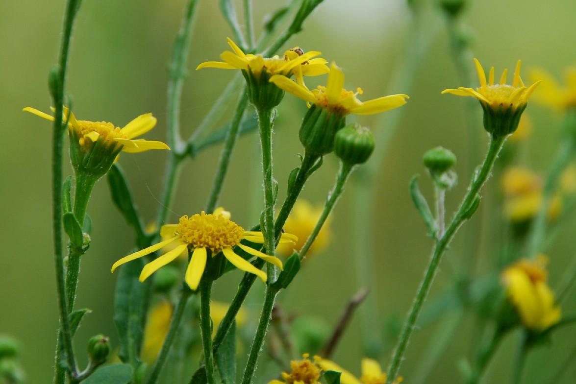 Senecio erraticus subsp. erraticus 5