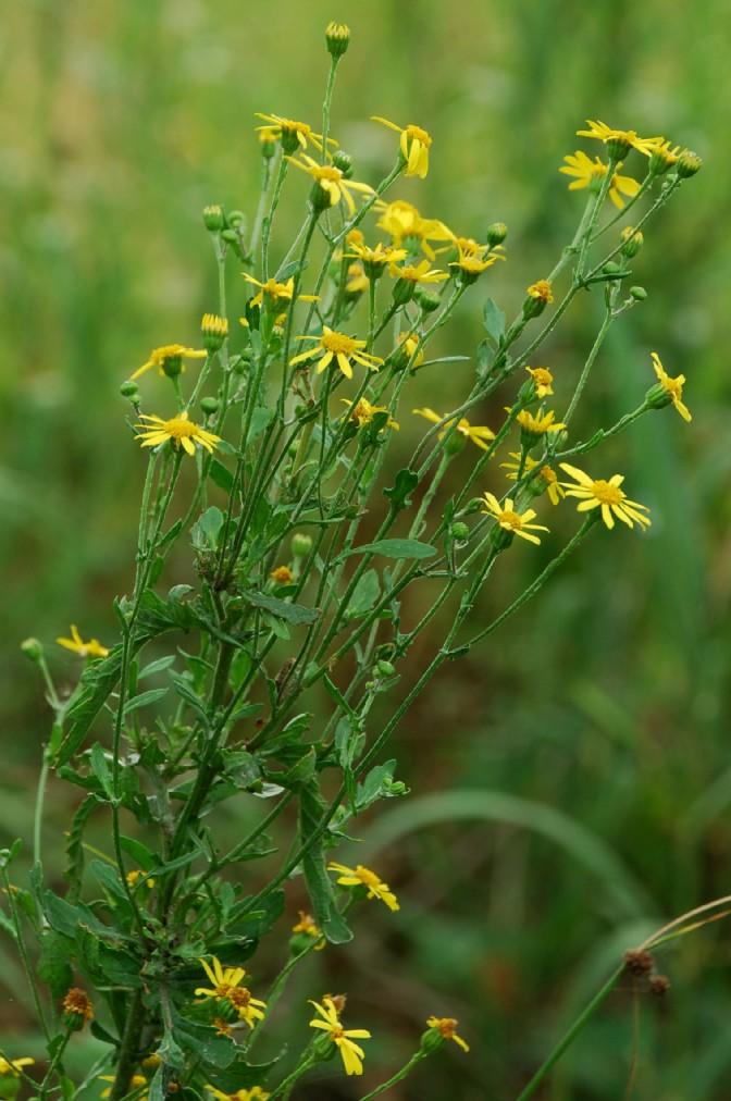 Senecio erraticus subsp. erraticus 6
