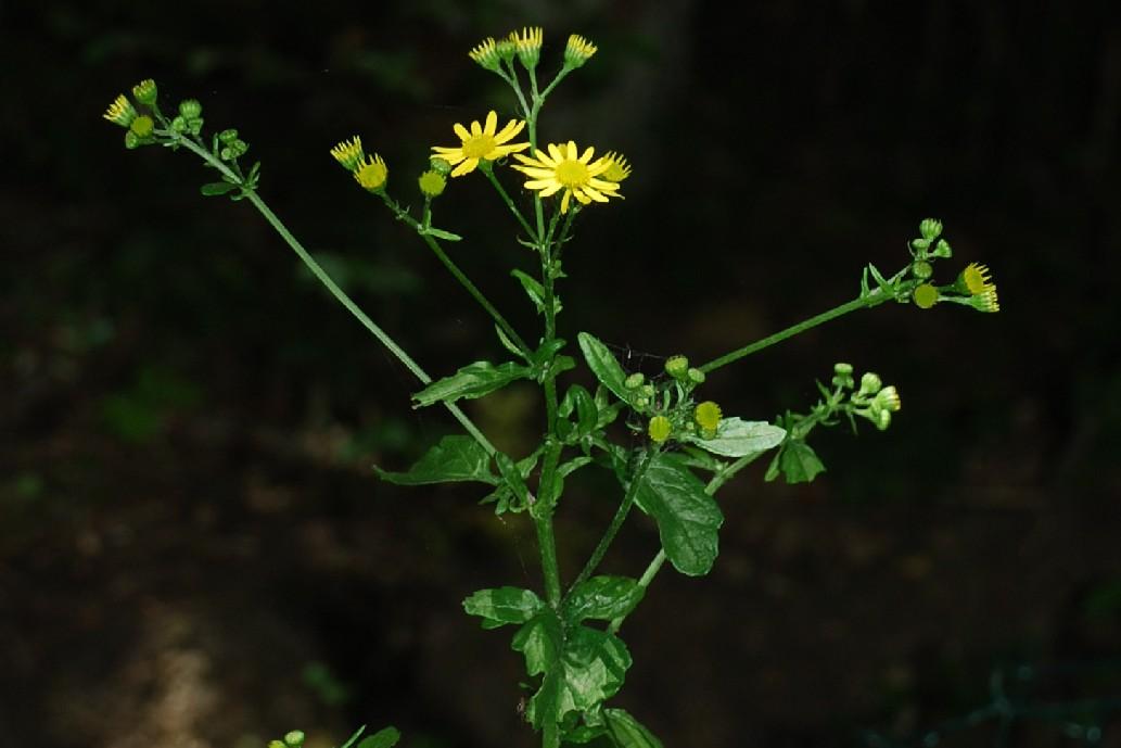 Senecio erraticus subsp. erraticus 8
