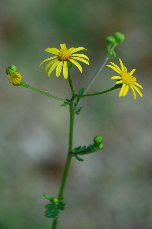 Senecio erraticus subsp. erraticus 9
