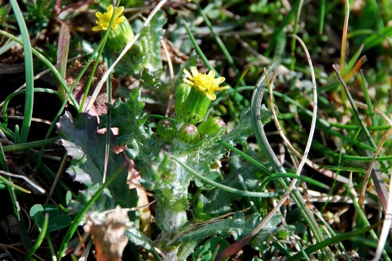 Senecio vugaris subsp. denticulatus