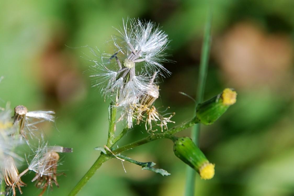 Senecio vulgaris 4