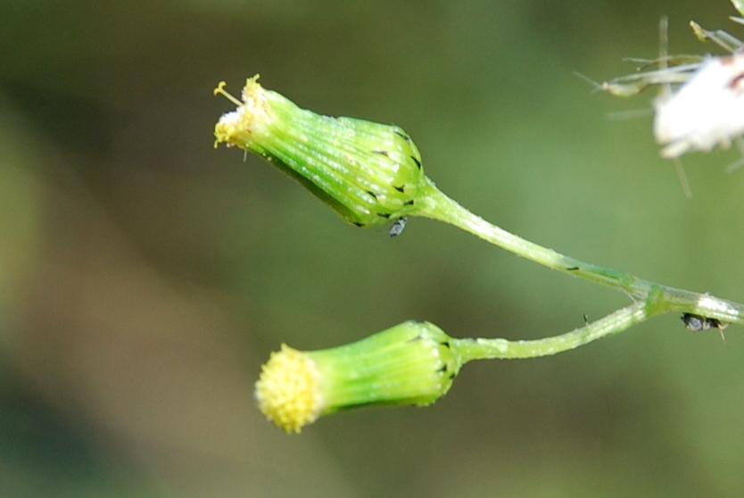 Senecio vulgaris 9