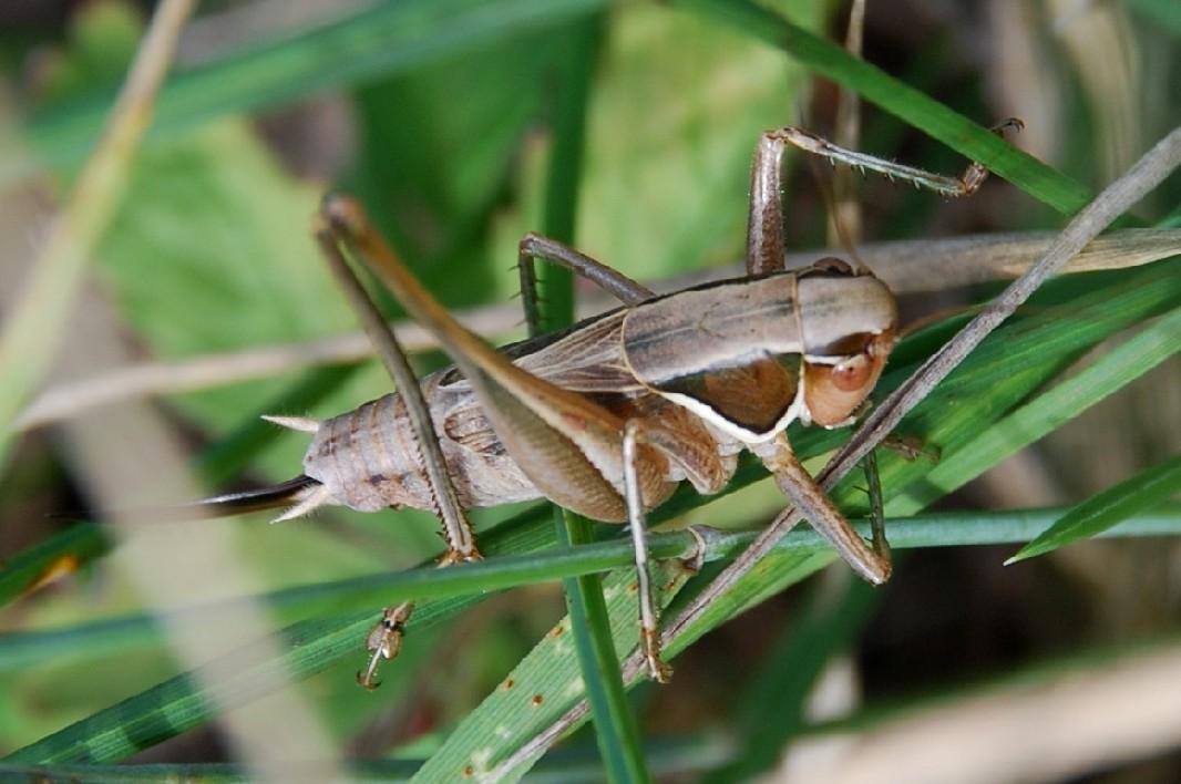 Sepiana sepium - Tettigoniidae