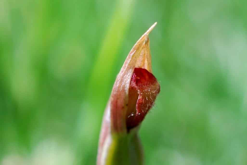 Serapias parviflora 12