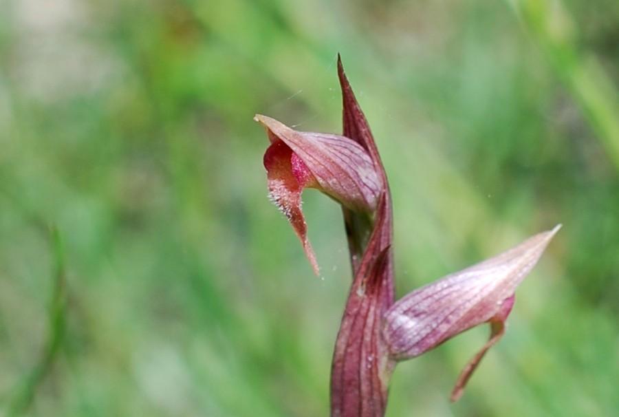 Serapias parviflora 14