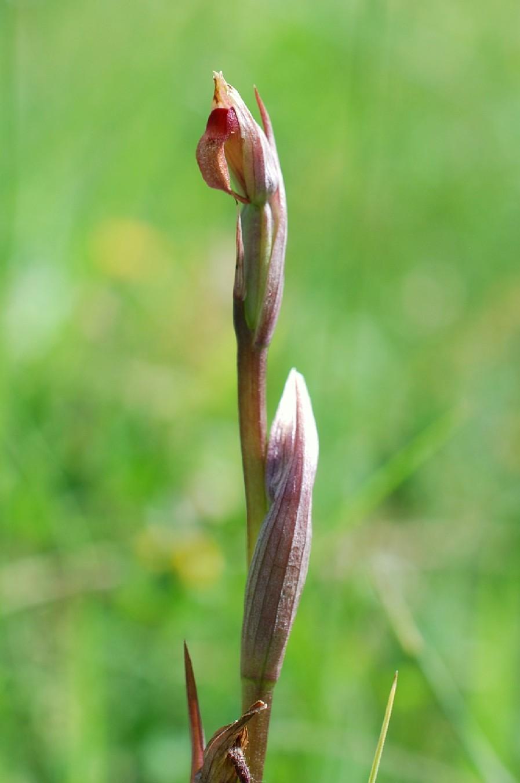 Serapias parviflora 15