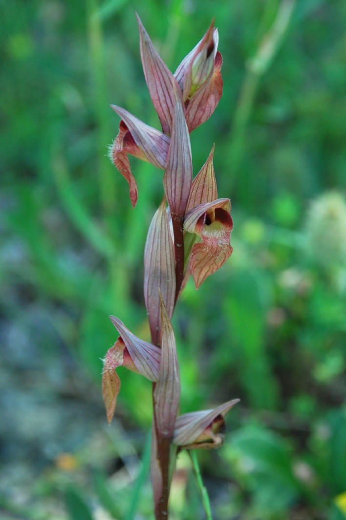 Serapias vomeracea subsp. vomeracea 12