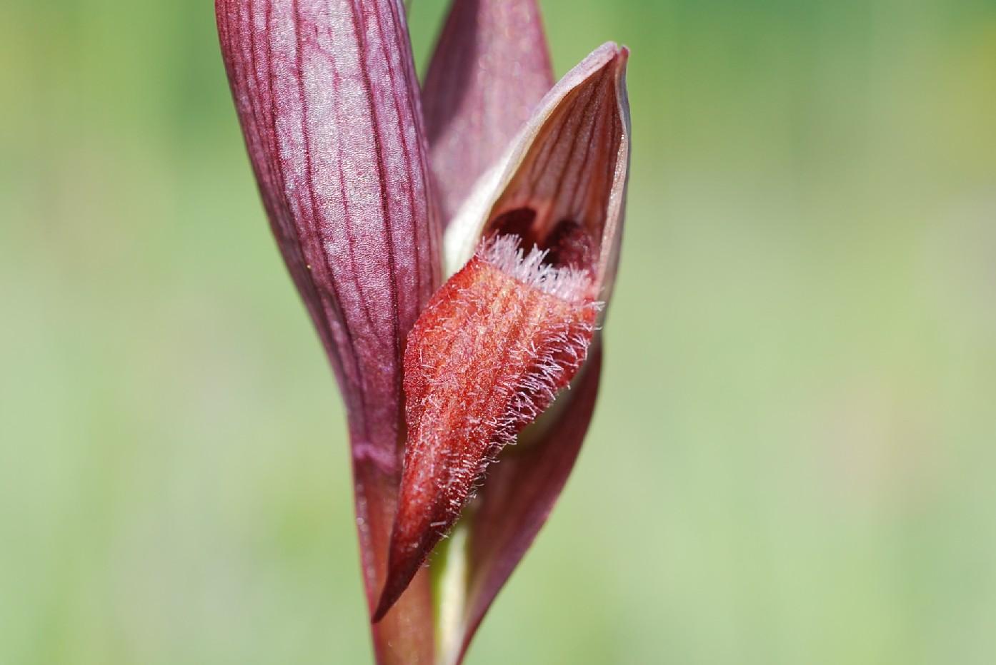 Serapias vomeracea subsp. vomeracea 14