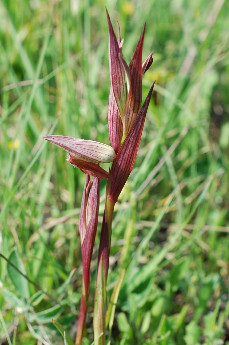 Serapias vomeracea subsp. vomeracea 16