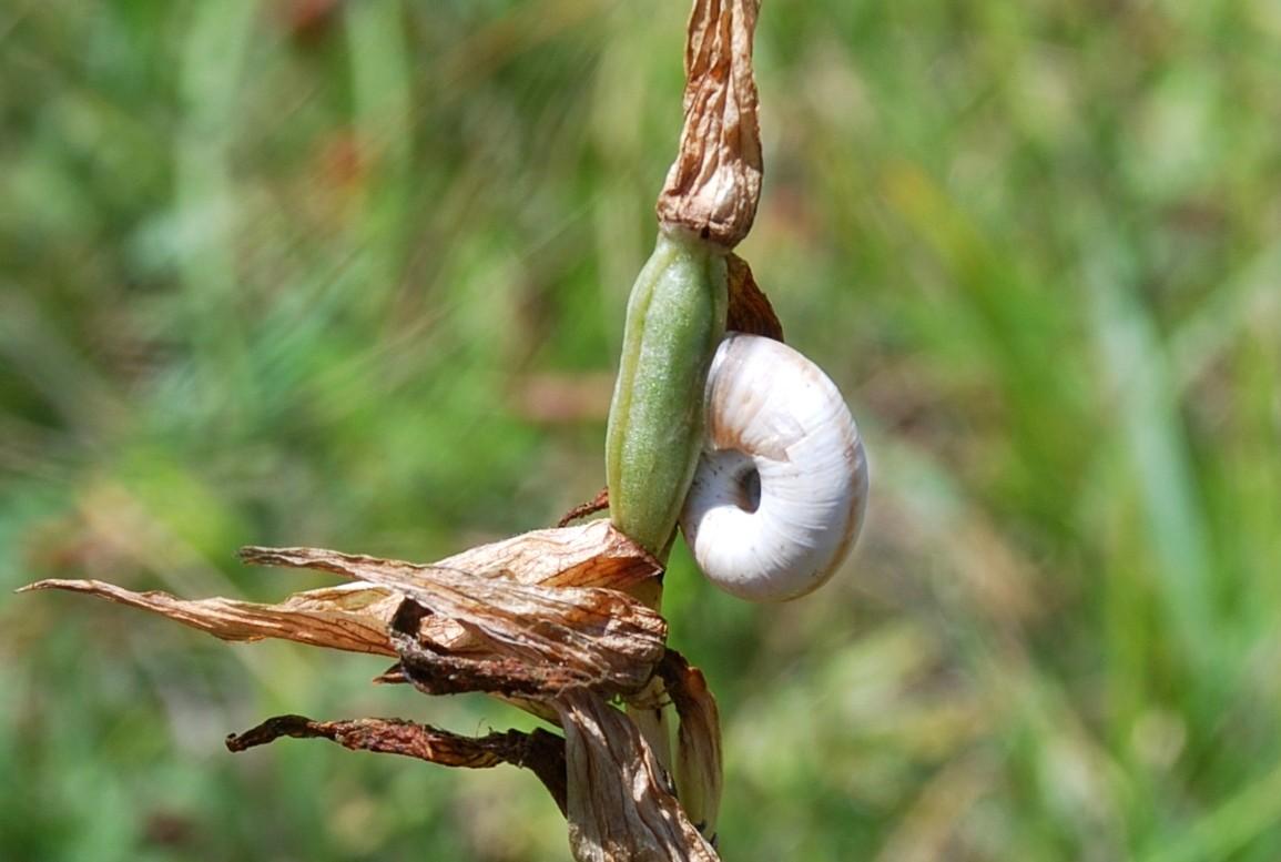 Serapias vomeracea subsp. vomeracea 22