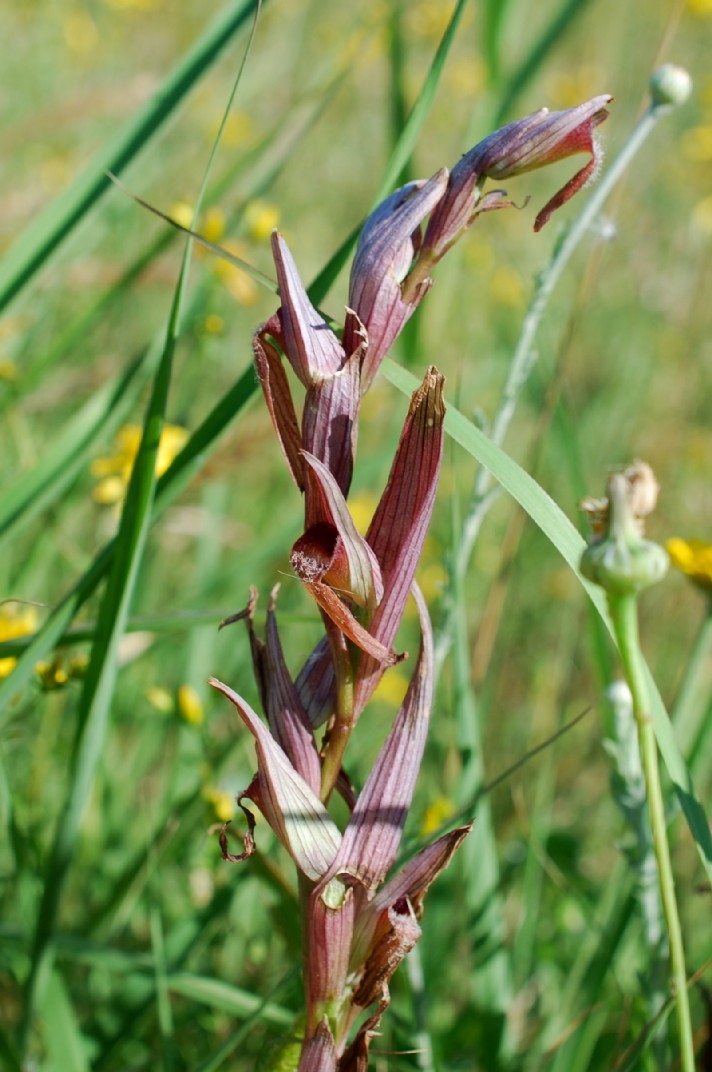 Serapias vomeracea subsp. vomeracea 25