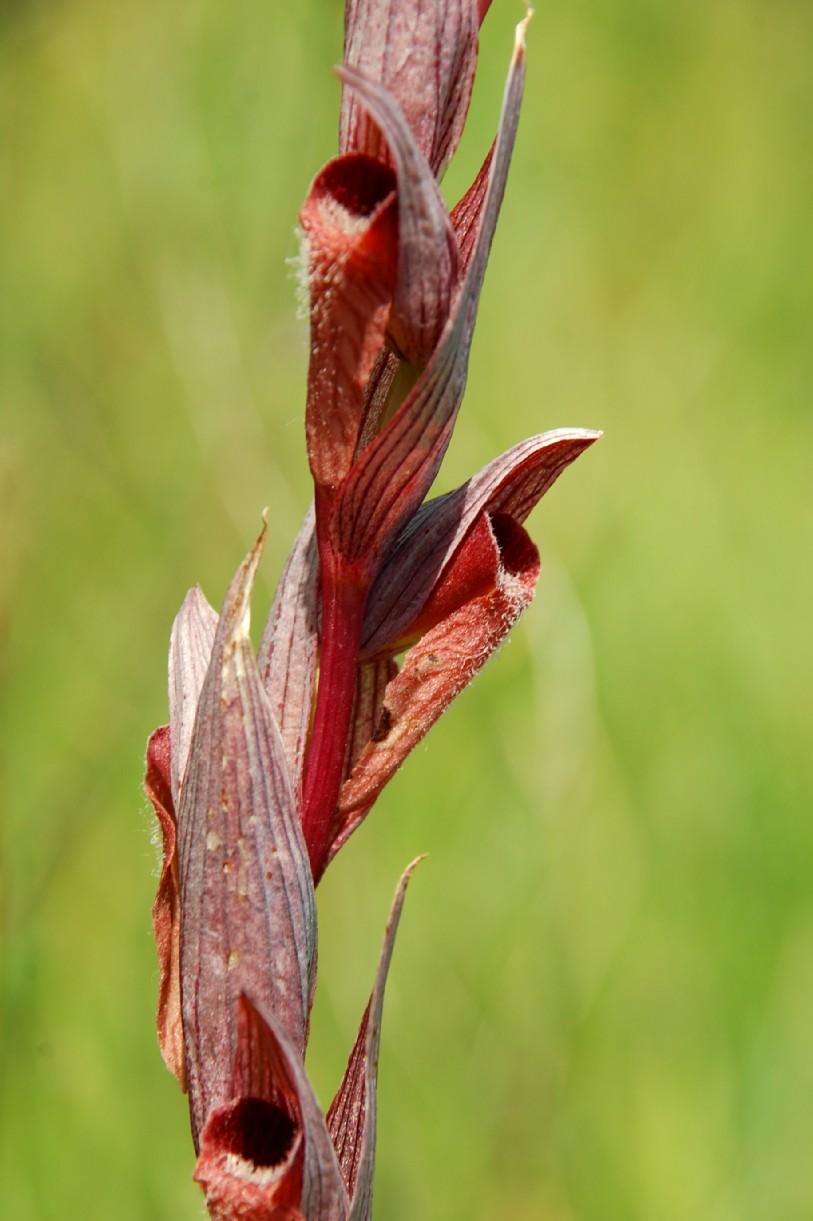 Serapias vomeracea subsp. vomeracea 3