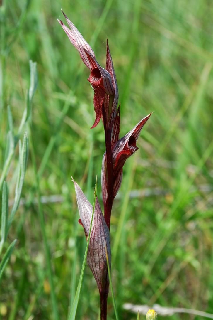 Serapias vomeracea subsp. vomeracea 6