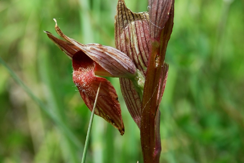Serapias vomeracea subsp. vomeracea 7