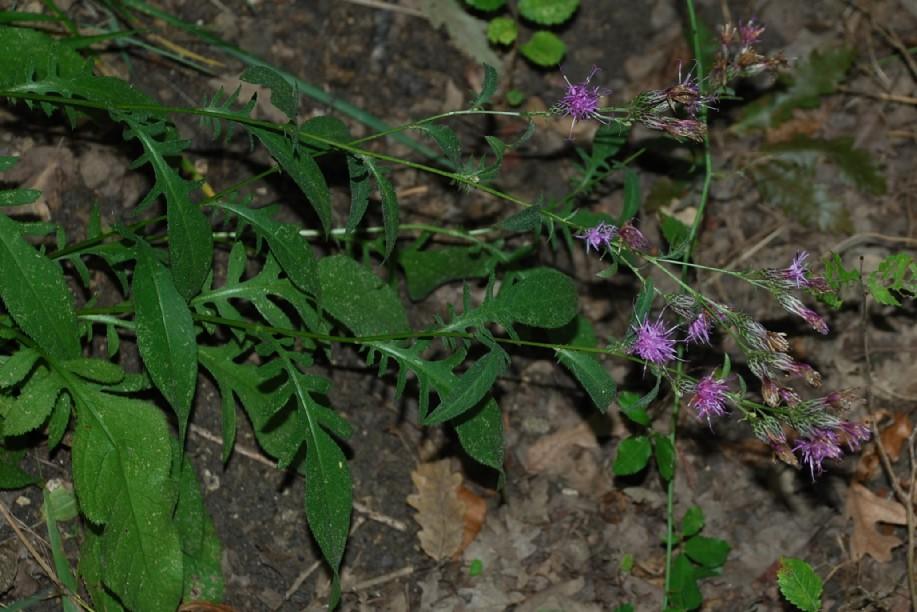 Serratula tinctoria subsp. tinctoria 15