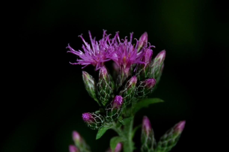 Serratula tinctoria subsp. tinctoria 17