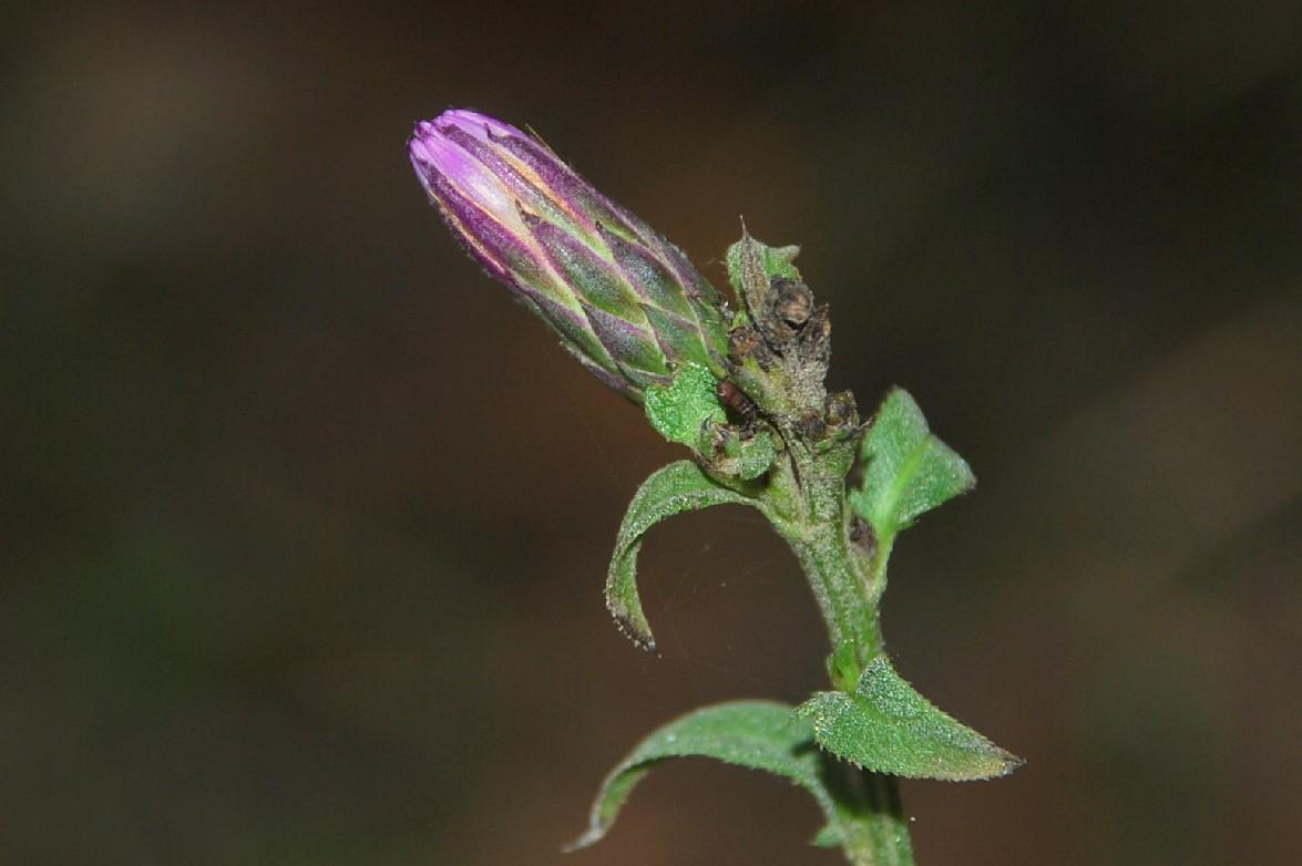 Serratula tinctoria subsp. tinctoria 22