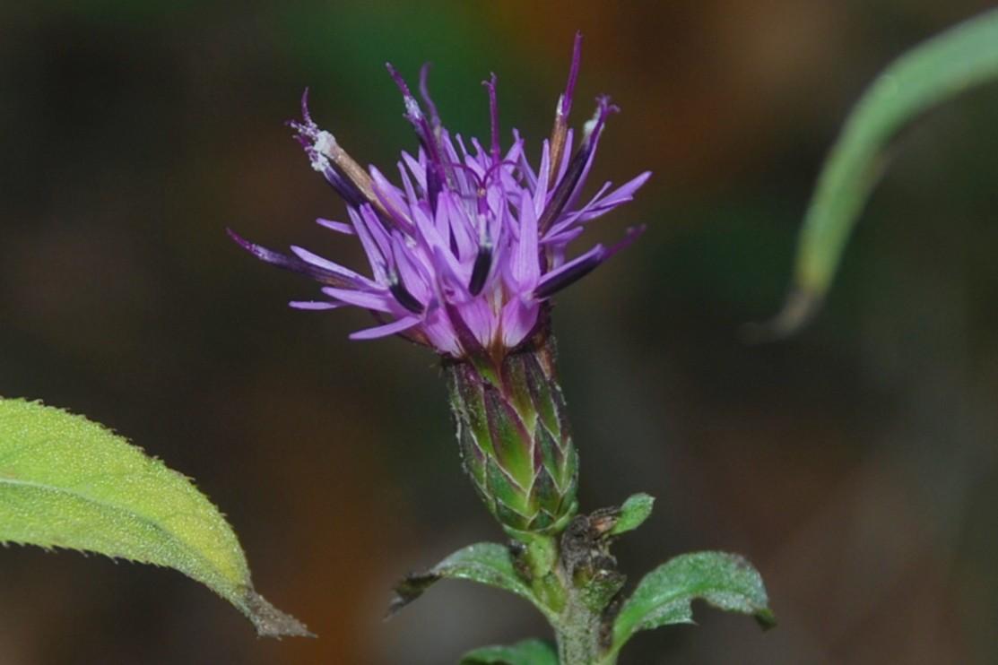 Serratula tinctoria subsp. tinctoria 23