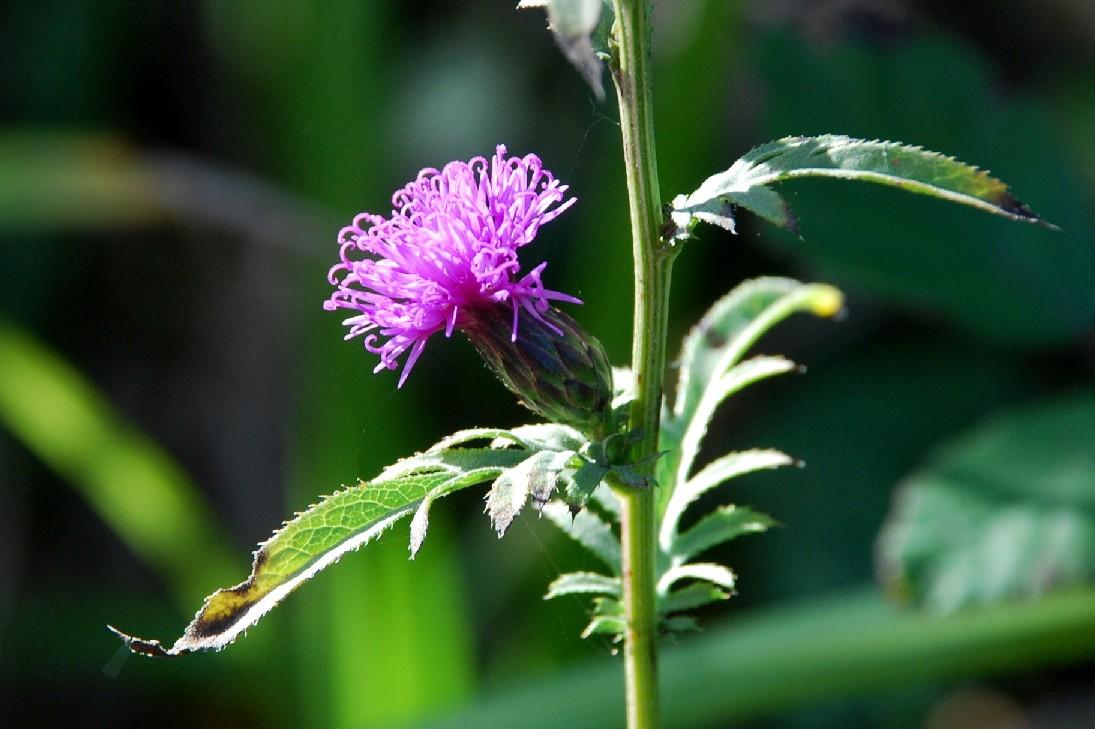 Serratula tinctoria subsp. tinctoria 24