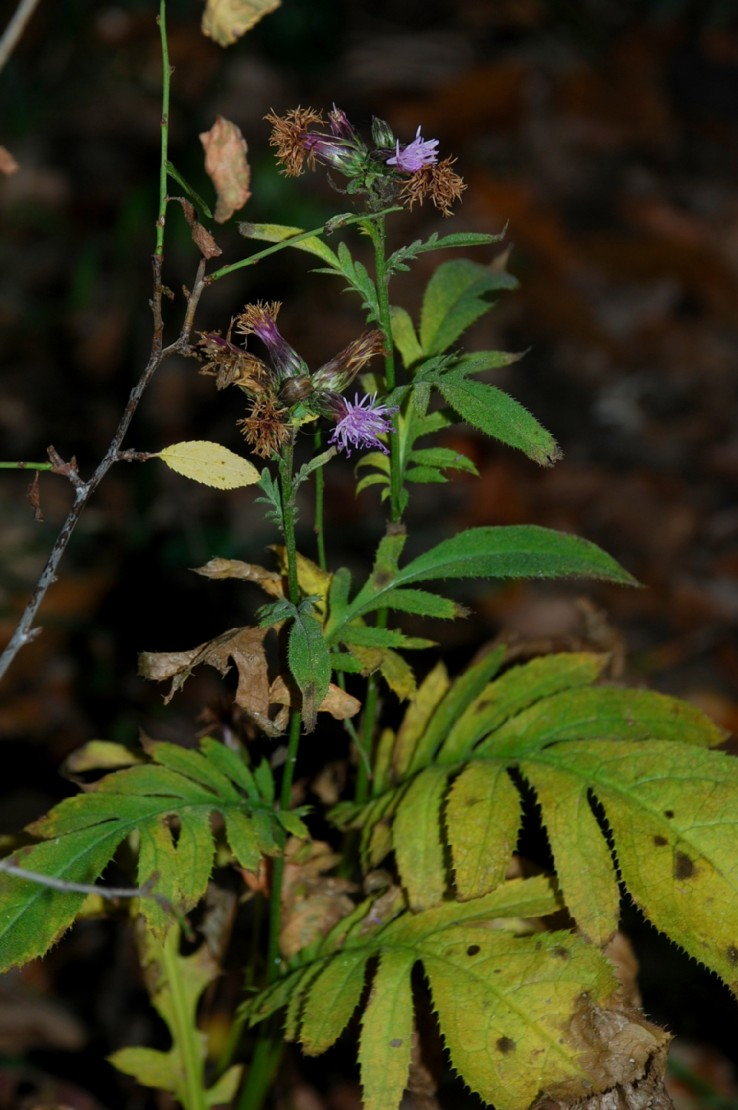 Serratula tinctoria subsp. tinctoria 25