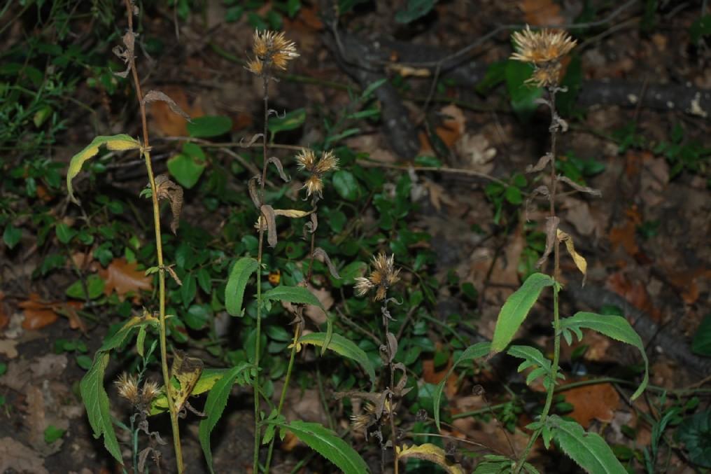 Serratula tinctoria subsp. tinctoria 28